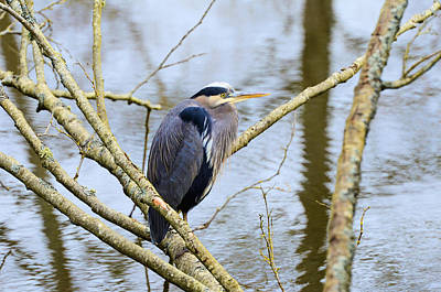 Photograph - Great Blue Heron by Lawrence Christopher
