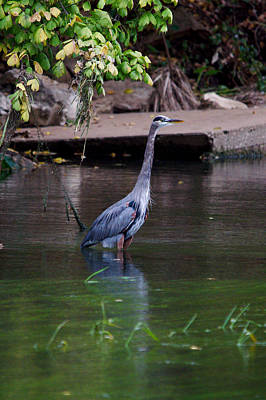 Whimsically Poetic Photographs - Great Blue Heron Portrait by Roy Williams