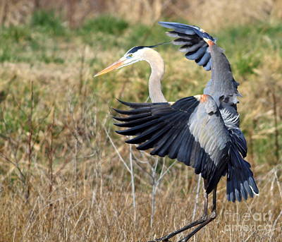 Great Blue Heron Art Print by Ursula Lawrence