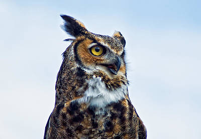 Great Horned Owl Art Print by Linda Pulvermacher