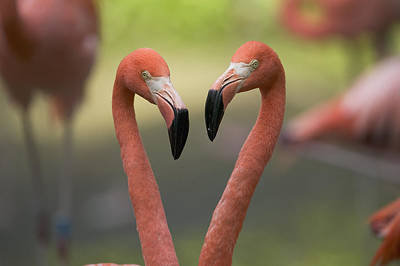 Pink Flamingo Photograph - Greater Flamingo Phoenicopterus Ruber by Cyril Ruoso