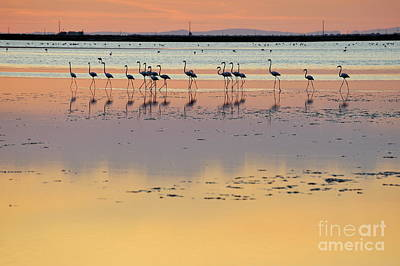 Greater Flamingos In Pond At Sunset Art Print by Sami Sarkis