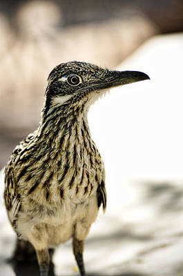 Roadrunner Photograph - Greater Roadrunner  by Saija  Lehtonen