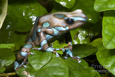 Frogs Photograph - Green And Black Poison Frog by Dante Fenolio