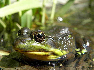 Pond Photograph - Green Frog by Griffin Harris