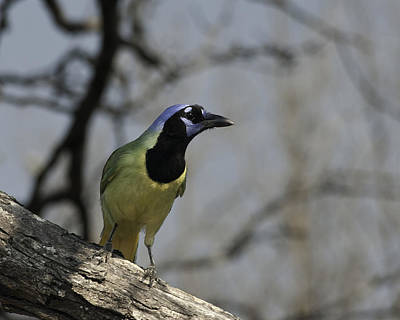 Art Print featuring the photograph Green Jay by Betty Depee
