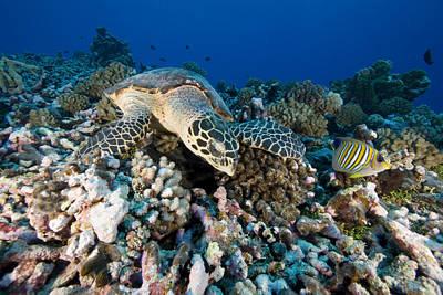 Green Sea Turtle Photograph - Green Sea Turtle Chelonia Mydas by Tim Laman