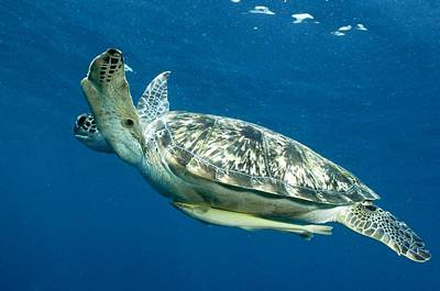 Green Sea Turtle Photograph - Green Sea Turtle by Louise Murray