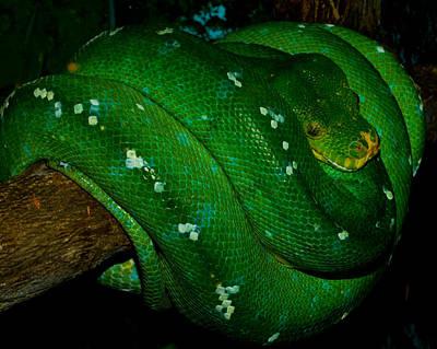 Photograph - Green Snake by Chua  ChinLeng
