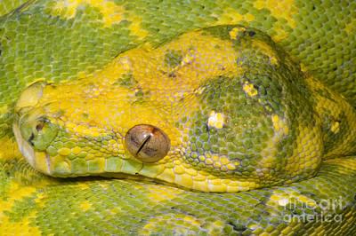 Burmese Python Photograph - Green Tree Python by Dante Fenolio