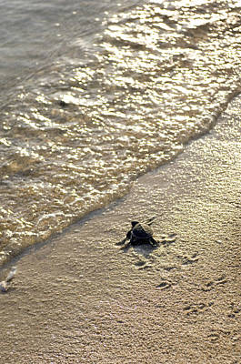 Green Sea Turtle Photograph - Green Turtle Hatchling by Matthew Oldfield