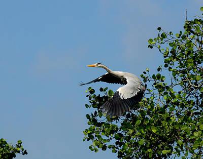 Photograph - Grey Heron In Flight by Chua  ChinLeng