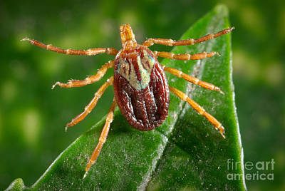 Photograph - Gulf Coast Tick by Science Source