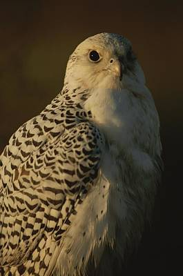 Gyrfalcon Photograph - Gyrfalcon Falco Rusticolus In Its White by Joel Sartore