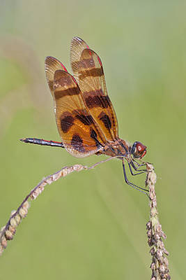 Halloween Pennant Dragonfly At Lacassine Art Print by Bonnie Barry