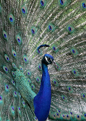 Photograph - Handsome Peacock by Sabrina L Ryan