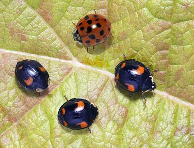 Harlequin Ladybirds Art Print by Sheila Terry