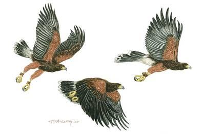Harris Hawk Cast Art Print by Tim McCarthy