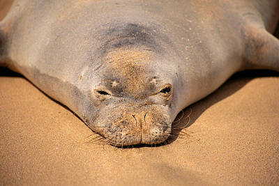 Hawaiian Monk Seal Art Print by Dave Fleetham - Printscapes