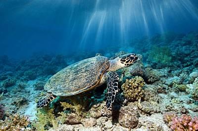 Small Turtle Photograph - Hawksbill Turtle by Georgette Douwma