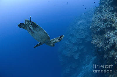 Photograph - Hawksbill Turtle In The Diving by Steve Jones