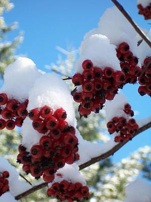 Photograph - Hawthorn Berries In The Snow by Peter Mooyman