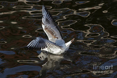 Lapwing Wall Art - Photograph - Head Under Water by Michal Boubin