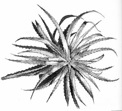 Drawing - Hechtia Argentea by Penrith Goff