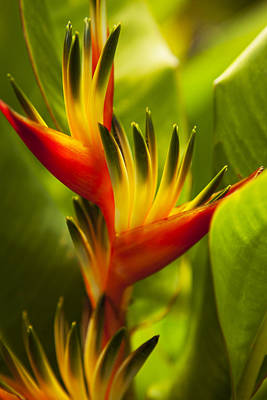 Heliconia Art Print by Dana Edmunds - Printscapes