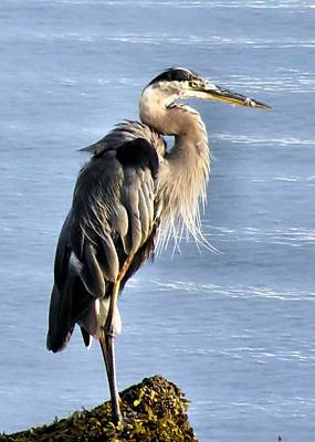 Photograph - Heron In The Harbor by Janice Drew