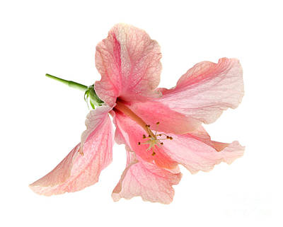 Photograph - Hibiscus by Nicholas Burningham