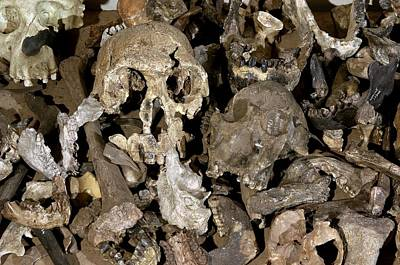 Hominid Skull Casts Art Print by Volker Steger