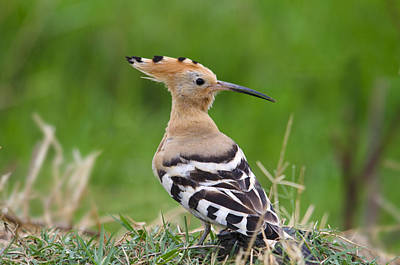 Typographic World Royalty Free Images - Hoopoe Royalty-Free Image by Perry Van Munster