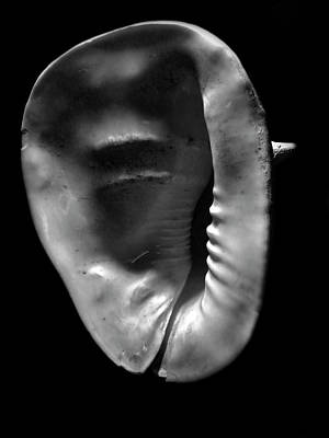 Photograph - Horned Helmet Shell Cassis Cornuta by Frank Wilson