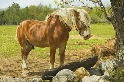 Horse Near Strone Wall In Field Spring Maine Art Print