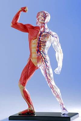 Human Body, Anatomical Model Art Print