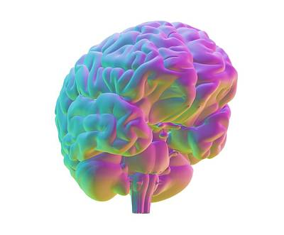 Human Brain Photograph - Human Brain, Computer Artwork by Pasieka