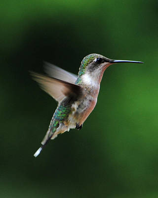 Photograph - Hummingbird In Flight by Jai Johnson