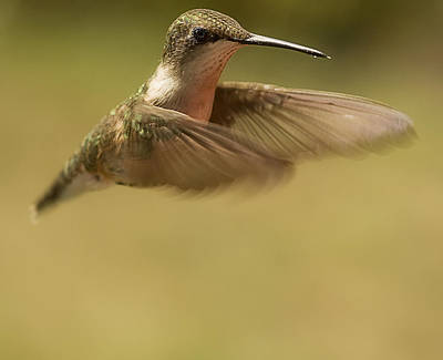 Photograph - Hummingbird In Flight by Trudy Wilkerson