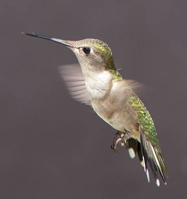 Photograph - Hummingbird by John Crothers