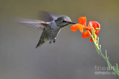 Photograph - Hummingbird Seeking Nectar by Laura Mountainspring