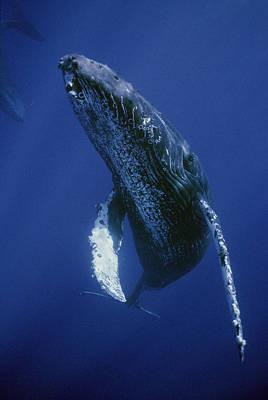 Mar2713 Photograph - Humpback Whale Singer Maui Hawaii by Flip Nicklin