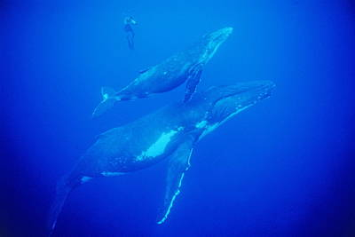 Rurutu Photograph - Humpback Whales With A Snorkeler by Alexis Rosenfeld