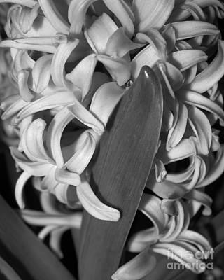 Photograph - Hyacinth by Patricia Januszkiewicz