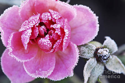 Snowy Winter Photograph - Icy Rose by Elena Elisseeva