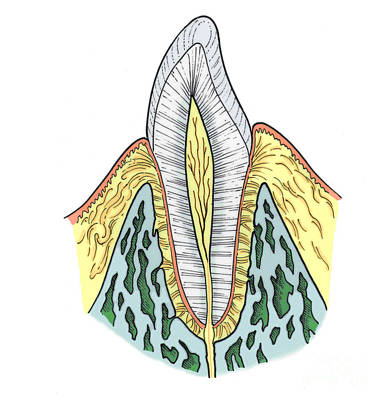 Photograph - Illustration Of Pre-molar Tooth by Science Source