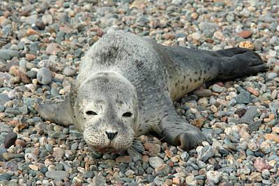 Injured Harbor Seal Print by Ted Kinsman