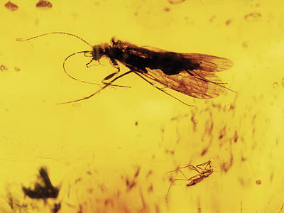 Baltic Amber Photograph - Insects Fossilised In Amber by Dirk Wiersma