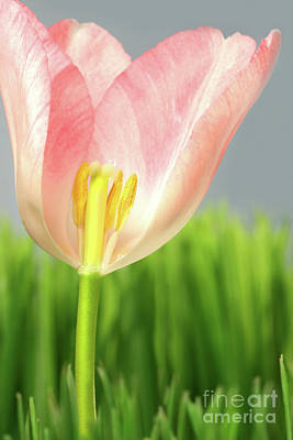 Stamen Photograph - Inside Of A Pink Tulip by Sandra Cunningham