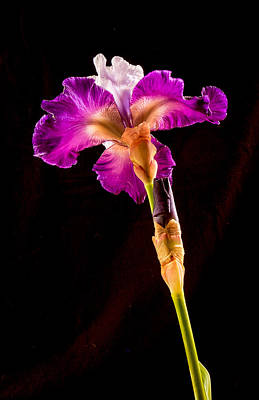 Photograph - Iris by Jean Noren